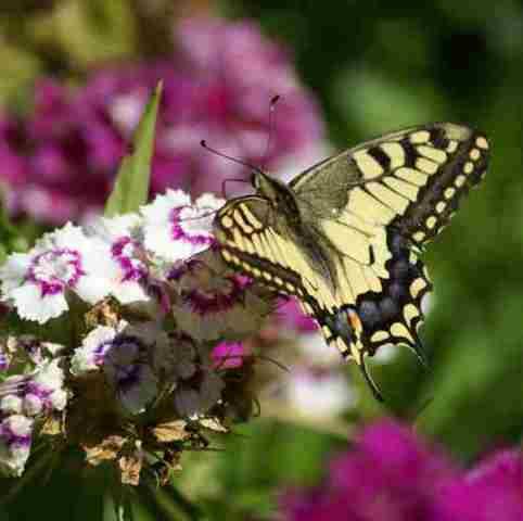 gelber Schmetterling auf lila-weißen Blüten